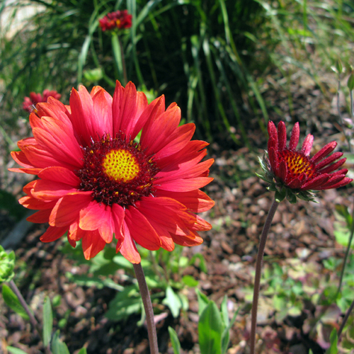 Gaillardia x grandiflora Burgunder